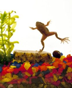 Natural-Aquatics-Frog-Aquarium-with-2-Frogs-0